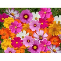 Imperial Cosmos Mix Hybrid Flower Seeds- 40 Seeds
