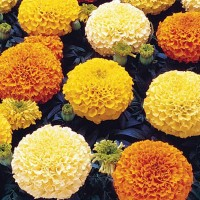 African Marigold Flower Hybrid Seeds 2 Packets