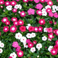 Vinca Hybrid Flower Seeds 2 Packets