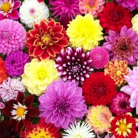 Dahlia Hybrid Flower Seeds 2 Packets