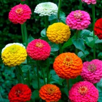 Zinnia Hybrid Flower Seeds 2 Packets