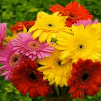 Gerbera Hybrid Flower Seeds 2 Packets