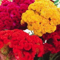 Celosia Hybrid Flower Seeds 2 Packets