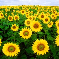 Sunflower Hybrid Flower Seeds 2 Packets