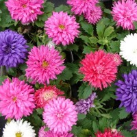 Aster Flower Hybrid Seeds 2 Packets