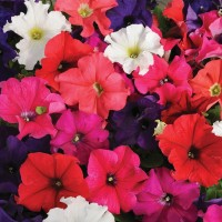 Petunia Hybrid Flower Seeds 2 Packets