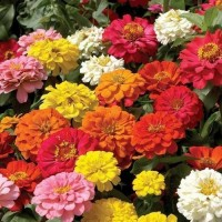 Zinnia Dahlia Mixed Hybrid Flower Seeds-40 Seeds
