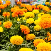 African Marigold Mixed Flower Hybrid Seeds 10 Gram