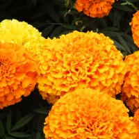 African Marigold Double Orange Flower Seeds 10 gram