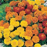 Indica French Marigold Hybrid Seeds - 50 Seeds Approx.