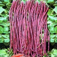 Cow Pea Red Gold Hybrid Vegetable Seeds