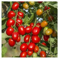 Tomato NS 538 Hybrid Vegetable Seeds 3 Packets